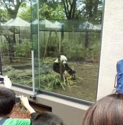 上野動物園 パンダ 竹を食べるシンシン(真真)
