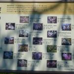 桜の島 説明
