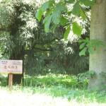 栃木県の木 とちのき